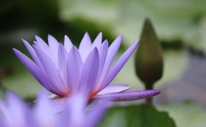flower lotus petals buds